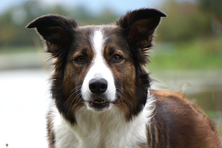 G And H Border Collies Border Collies vom H&#...